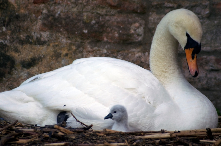 The Swans of Wells, Somerset